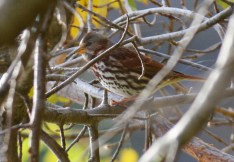 Fox Sparrow - Durand Eastman Park - © Dick Horsey - Oct 27, 2015