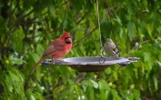 Northern Cardinal and House Finch (F) - Greece - © Carol Shay - Oct 31, 2015