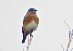Eastern Bluebird - Oatka Creek Park - © Jim Adams - Oct 31, 2015