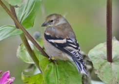 American Goldfinch - Webster - © Peggy Mabb - Oct 31, 2015