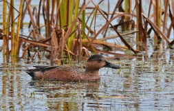 Blue-winged Teal X Cinnamon Teal (Hybrid) - Montezuma NWR - © Dick Horsey - Nov 05, 2015