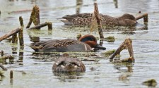 Green-winged Teal - Montezuma NWR - © Dick Horsey - Nov 05, 2015