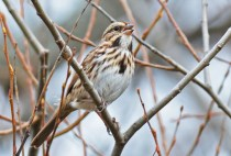 Song Sparrow - High Acres Nature Area - © Dick Horsey - Nov 12, 2015