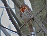 Fox Sparrow - Oatka Creek Park - © Jim Adams - Nov 14, 2015