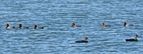 Redhead (back) and Black Duck (front) - Batavia WTP - © Dick Horsey - Nov 17, 2015