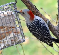 Red-bellied Woodpecker (F) - Rochester - © Vern Lindberg - Nov 22, 2015