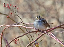 White-throated Sparrow - Webster Park - © Dick Horsey - Nov 30, 2015
