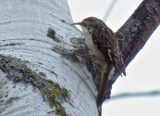 Brown Creeper - Oatka Creek Park - © Jim Adams - Dec 07, 2015