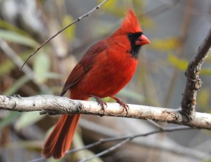 Northern Cardinal - Durand Eastman Park - © Dick Horsey - Dec 08, 2015