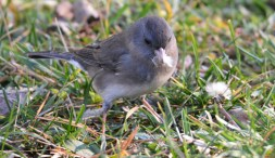 Dark-eyed Junco - Tinker Nature Park - © Dick Horsey - Dec 11, 2015