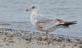 Ring-billed Gull (1st winter) - Irondequoit Bay Outlet - © Dick Horsey - Dec 21, 2015