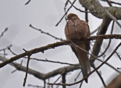 Mourning Dove - Durand Eastman Park - © Dick Horsey - Dec 21, 2015
