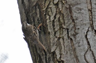 Brown Creeper - Durand Eastman Park - © Dick Horsey - Dec 26, 2015