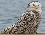 Snowy Owl - Sodus Point - © Zaphir Shamma - Dec 26, 2015