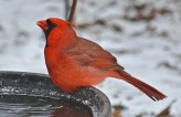 Northern Cardinal - Webster - © Peggy Mabb - Jan 04, 2016