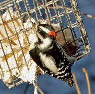 Downy Woodpecker - Rochester - © Vern Lindberg - Jan 05, 2016