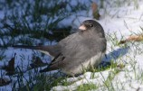 Dark-eyed Junco - Webster - © Peggy Mabb - Jan 05, 2016