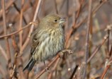 House Finch (F) - Webster - © Peggy Mabb - Jan 05, 2016