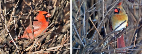 Northern Cardinal (M/F) - Webster - © Peggy Mabb - Jan 13, 2016