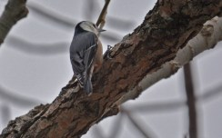 White-breasted Nuthatch - Hamlin Beach Park - © Dick Horsey - Jan 31, 2016