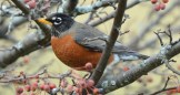 American Robin - Mendon Ponds - © Dick Horsey - Feb 02, 2016