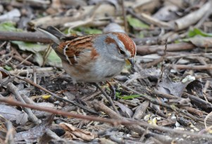 American Tree Sparrow - Mendon Ponds - © Dick Horsey - Feb 02, 2016