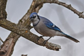 Blue Jay - Mendon Ponds - © Dick Horsey - Feb 02, 2016