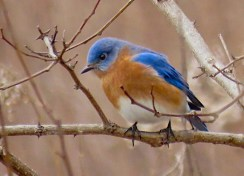 Eastern Bluebird - Oatka Creek Park - © Jim Adams - Feb 06, 2016