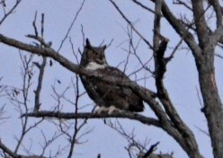 Great Horned Owl - Webster - © Peggy Mabb - Feb 07, 2016