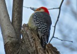 Red-bellied Woodpecker - Oatka Creek Park - © Jim Adams - Feb 12, 2016