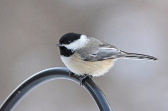 Black-capped Chickadee - Rush - © Nick Kachala - Feb 13, 2016