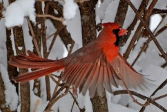 Northern Cardinal - Webster - © Peggy Mabb - Feb 14, 2016