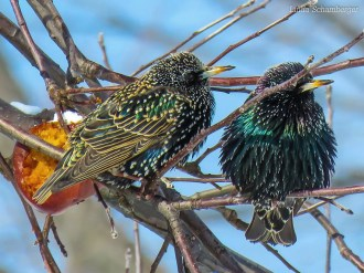 European Starling - Webster - © Linda Schamberger - Feb 14, 2016