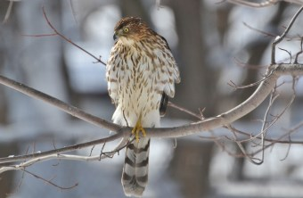 Cooper's Hawk - Webster - © Peggy Mabb - Feb 18, 2016