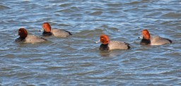 Redhead - Irondequoit Bay Outlet - © Dick Horsey - Feb 20, 2016