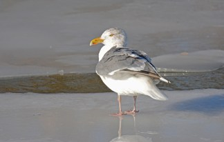 Herring Gull - Irondequoit Bay Outlet - © Dick Horsey - Feb 20, 2016