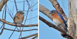 Eastern Bluebird (F/M) - High Acres Nature Area - © Dick Horsey - Feb 28, 2016