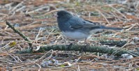 Dark-eyed Junco - Brighton - © Dick Horsey - Feb 29, 2016