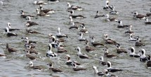 Long-tailed Duck - Irondequoit Bay Outlet - © Dick Horsey - Mar 04, 2016