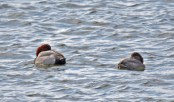 Redhead - Irondequoit Bay Outlet - © Dick Horsey - Mar 04, 2016