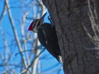 Pileated Woodpecker - Oatka Creek Park - © Jim Adams - Mar 06, 2016