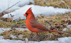 Northern Cardinal - Mendon Ponds Park - © Dick Horsey - Mar 07, 2016