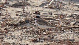 Killdeer - Irondequoit Bay Outlet - © Dick Horsey - Mar 09, 2016