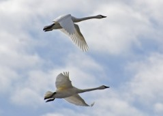 Tundra Swan - High Acres Nature Area - © Peggy Mabb - Mar 09, 2016