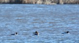Common Merganser - Beatty Point - © Dick Horsey - Mar 17, 2016