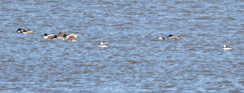 Northern Shoveler and Bufflehead - Braddock Bay Park - © Dick Horsey - Mar 17, 2016