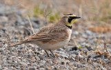 Horned Lark - Nations Road - © Dick Horsey - Mar 21, 2016
