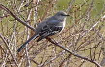 Northern Mockingbird - Whiting Road Nature Preserve - © Dick Horsey - Mar 22, 2016