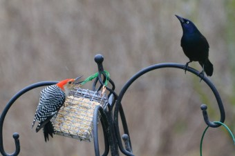 Red-bellied Woodpecker and Common Grackle - Webster - © Peggy Mabb - Mar 23, 2016
