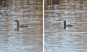 Pied-billed Grebe - High Acres Nature Area - © Dick Horsey - Mar 26, 2016